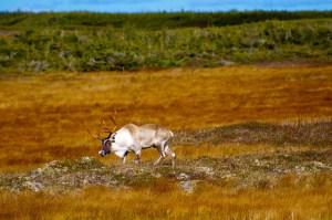 Caribou-1