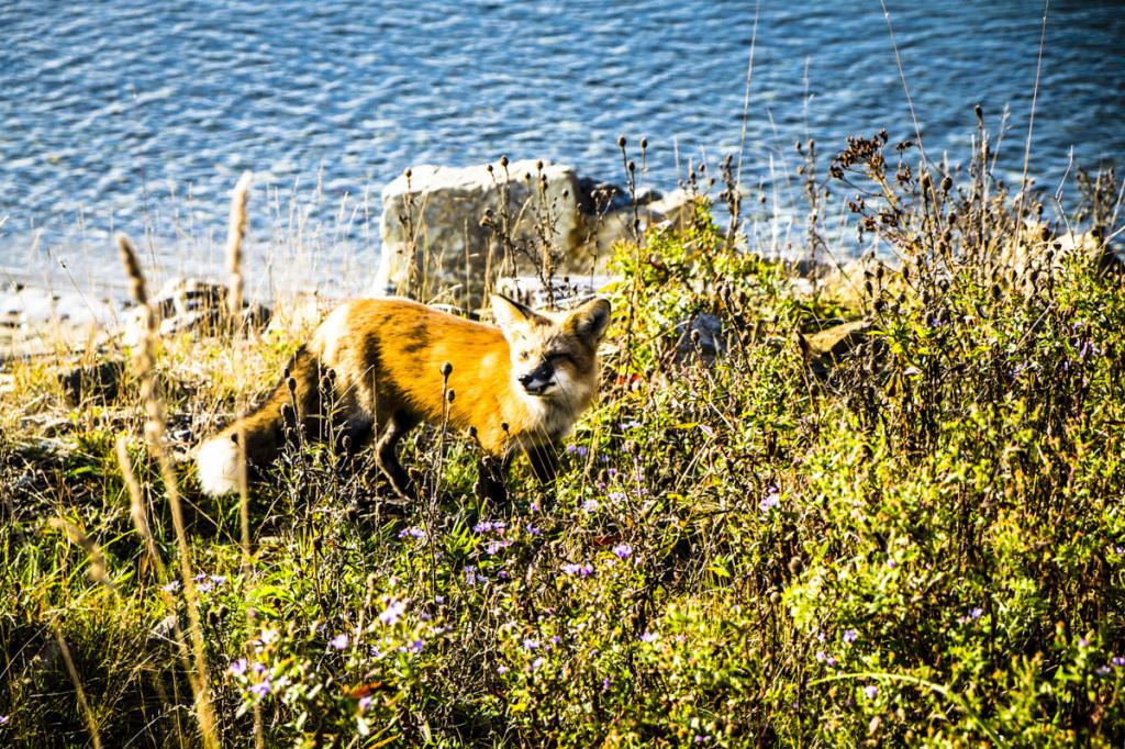 Fox, Mira Gut, NS