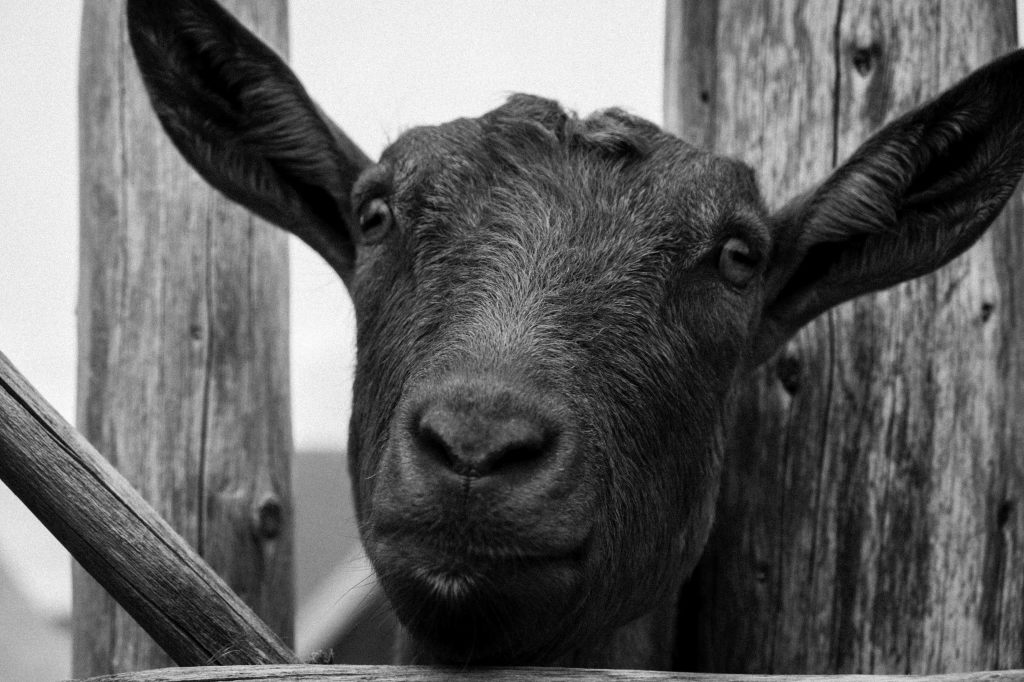 Goat, Fortress of Louisbourg, NS